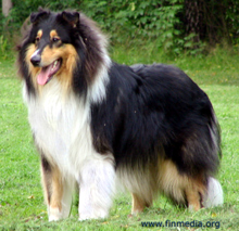 Alcapos Collies - TOPI
