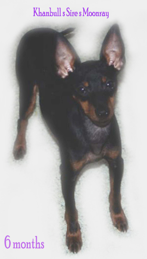 English Toy Terrier male/uros