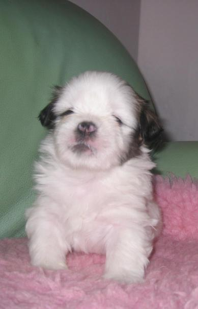 Koirat.com - Lhasa Apso puppy almost white