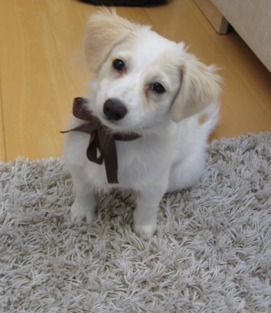 Linkit >> Koirat.com - Lyhytkarvainen havannankoira