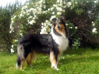 Pk.collie Elli (Kiiramanna Young Princess)